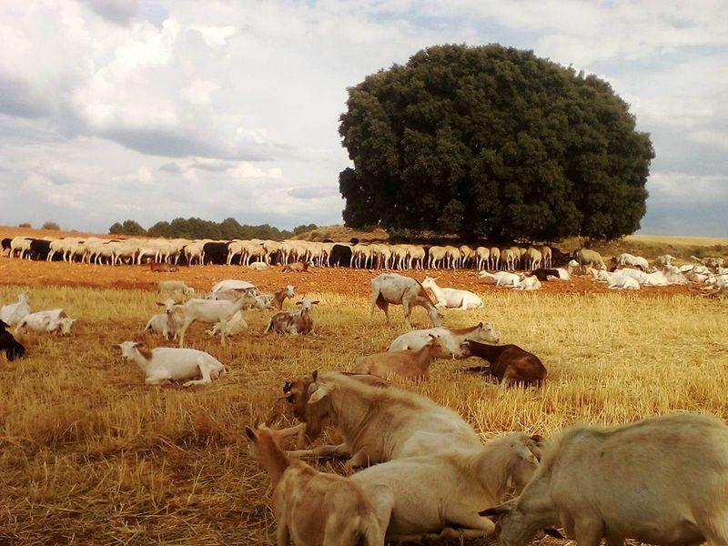 ASAJA CLM solicita medidas excepcionales para los ganaderos afectados por la sequía
