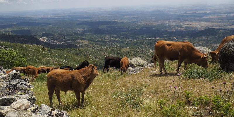 Este jueves llegan a las cuentas de 1.445 ganaderos de la región un total de 9,4 millones de euros de ayudas asociadas de la PAC para vacas nodrizas