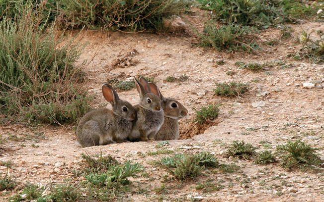 La Junta declara la comarca de emergencia cinegética temporal por daños de conejos de monte y revisará la situación de sobrepoblación de ciertas especies cinegéticas