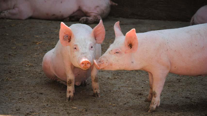El IREC desarrolla un modelo epidemiológico para controlar la expansión de la enfermedad de Aujeszky en cerdos