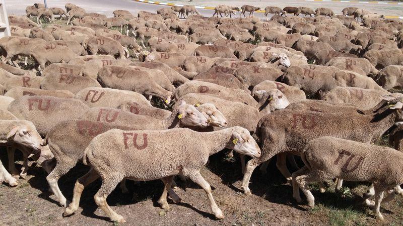 Castilla-La Mancha ha abonado 9,6 millones de euros para el mantenimiento de la ganadería extensiva en el primer semestre de 2020