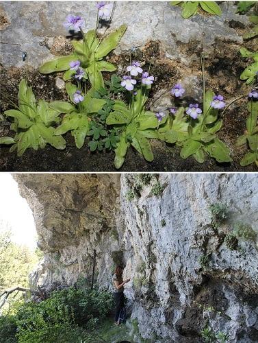 Investigadores de la Universidad de Alicante identifican una nueva especie ibérica de planta carnívora en la Serranía de Cuenca