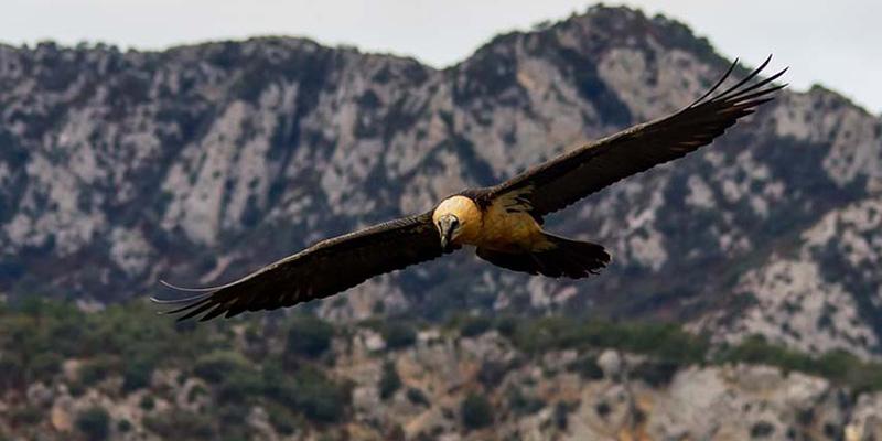 Una investigación del IREC sitúa al plomo como una de las primeras causas de intoxicación en aves rapaces