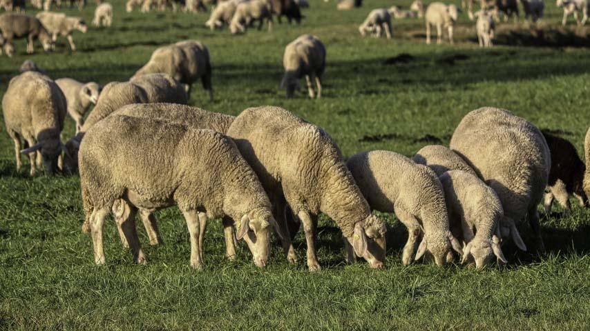 Investigadores del IREC confirman que los suplementos minerales reducen la exposición del ganado a la contaminación por plomo