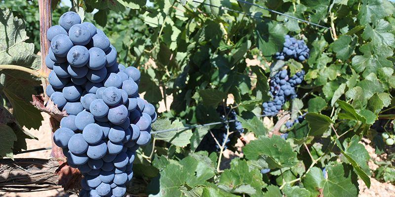 La provincia de Cuenca recibe 3,1 millones de euros para la modernización del sector vitivinícola y su impulso como motor de desarrollo económico