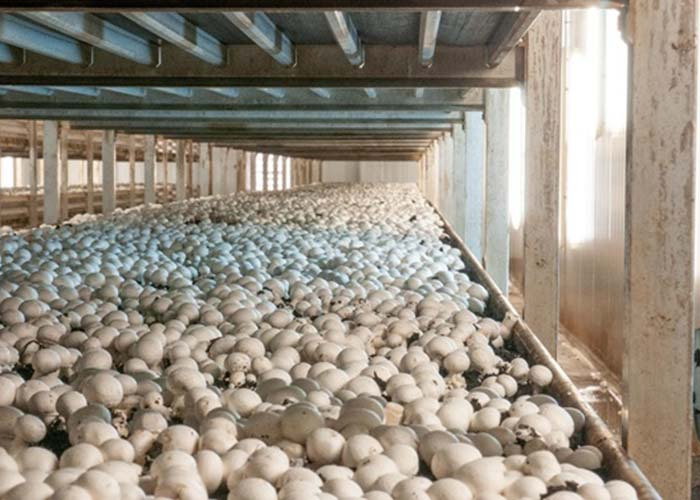 El CIES de Quintanar del Rey publica un artículo sobre reutilización de residuos procedentes del champiñón