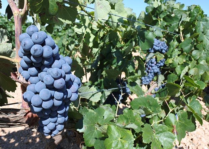 La Junta abona más de 1,6 millones de euros en ayudas a alrededor de 140 viticultores de la provincia de Cuenca