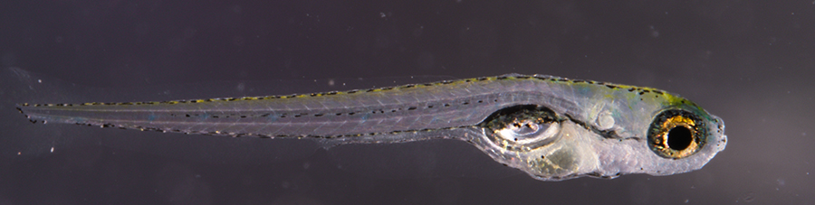 Investigadores de la UCLM descubren un gen importante para determinar el sexo del pez cebra