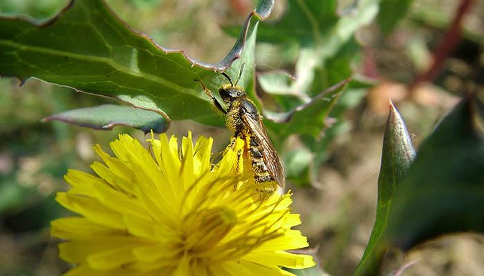 La UCLM participa en un estudio que identifica 98 potenciales especies de abejas polinizadoras del melón, la sandía y las almendras