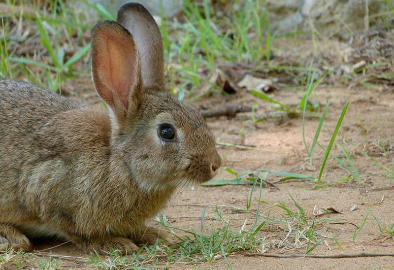 Publicada la ampliación de la declaración de emergencia cinegética temporal por daños de conejo de monte