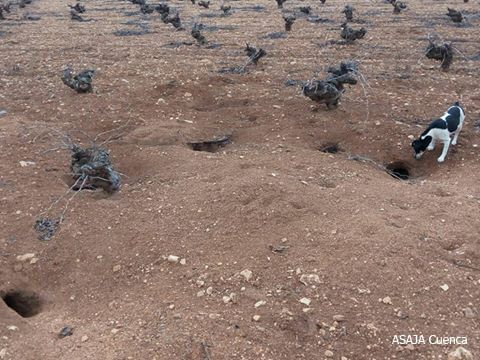 Prorrogada la comarca de emergencia cinegética temporal por daños causados por los conejos en 295 municipios