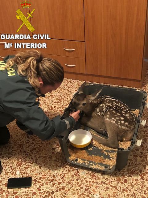 La Guardia Civil rescata a una cría de cierva en Fuentelespino de Moya que querían quedarse como mascota