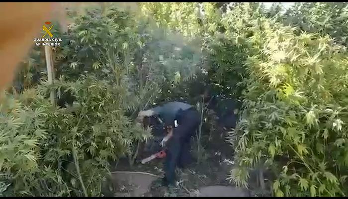 Hay menos marihuana en la Mancha conquense incautados 850 kilos y detenidas 13 personas